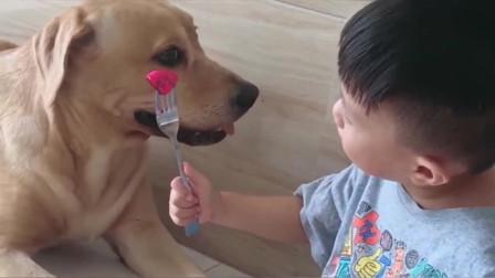 小主人给拉布拉多犬吃火龙果,它很懂事不直接吃,还知道拿个碗过来!