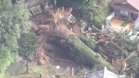 暴雨下不停!日本40米高的千年神树被连根拔起