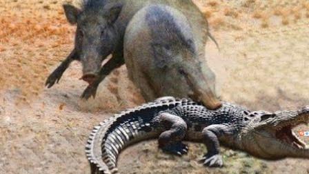 """饥饿的鳄鱼捕食野猪,结果被一招""""反杀"""",镜头记录全过程!"""