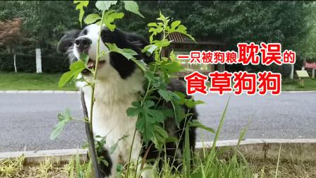 汪星人放飞自我, 学会吃草挖坑,再也不能做个快乐的废物了!