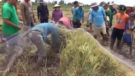 """村民收割水稻发现不对劲,一网子下去,""""真凶""""浮出水面"""