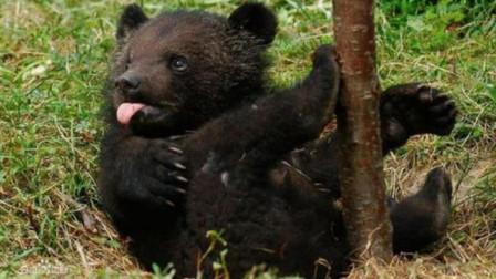 """""""黑熊为脱单徒步650公里""""爆红,专家: 它可能只是爱冒险"""