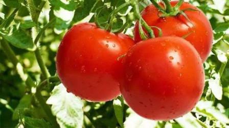 边学边种:西红柿栽培技术2,吃上时令菜不是问题