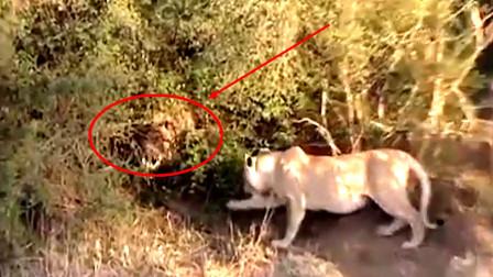 狮子正刨土玩耍,草丛中却藏着一颗奇怪的头,这是个啥?