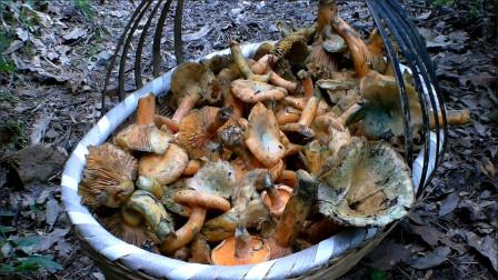 四川达州:进入梅雨季节,大山里的松乳菇成片长着,村哥一会儿就采几十斤