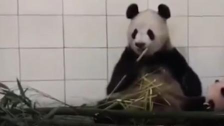 熊猫吃竹子推开宝宝,突然想起娃是亲生的,神反转太可爱了!