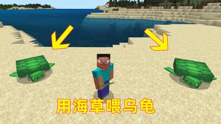 我的世界新12!我发现两只大海龟,给它们喂海草吃,它俩就生了一堆乌龟蛋