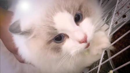 布偶猫:我骂起人来,自己都害怕