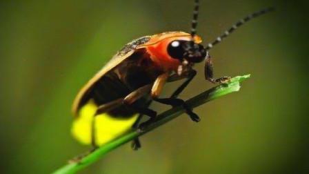 为什么萤火虫会发光?它体内含有荧光素,这是它与生俱来的能力!