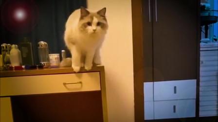 布偶猫:我要证明自己的弹跳能力不弱,走你!