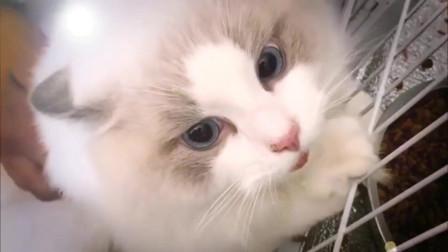 布偶猫:我骂起人来,自己都害怕!