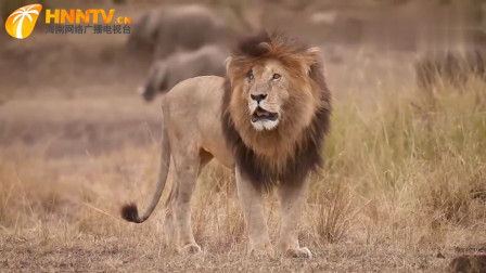 肯尼亚马赛马拉最著名的狮子-外号疤面!生前的帅气英姿