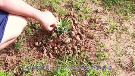 老外把菠萝埋土里1个月能种出啥?老外亲测,结果尴尬到家
