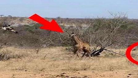 受伤长颈鹿被鬣狗盯上,千钧一发之际,幸好它出手相助