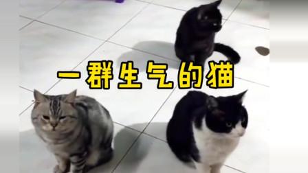 萌宠:一脸嫌弃你的猫给你气出表情包来!铲屎的,多大个人了?哼!