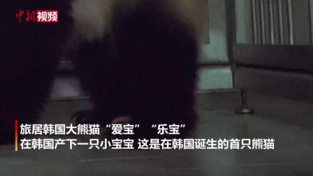 """萌! 中国""""熊猫夫妇""""首次在韩国产子"""