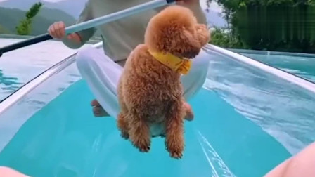泰迪崽崽布丁靠自己过上了想要的生活,真的是人不如狗啊