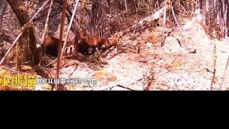 迪庆哈巴雪山首次拍摄到20多种国家级珍稀濒危野生动物活动影像
