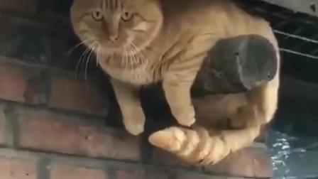 橘猫:猫在屋檐下,不得不低头!