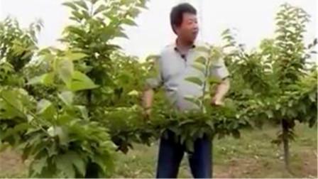 樱桃树栽培管理要注意什么?施肥有讲究,树形修剪培育应这样做!
