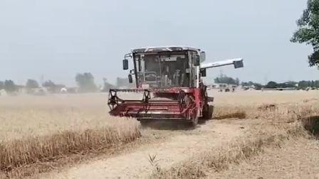 村长家的小麦成熟后收割机在地里干的热火朝天,丰收的景色太迷人!