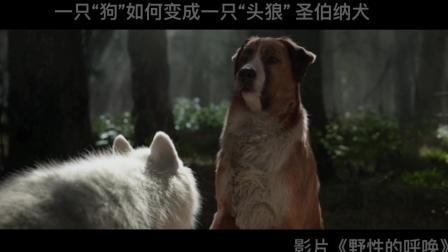 圣伯纳犬战胜哈士奇,成为新犬王「4K」