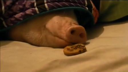 深睡中的小猪闻到诱人的饼干