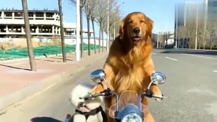 金毛轮胎带着小比熊油门出门做好人好事了,太可爱了,萌萌哒