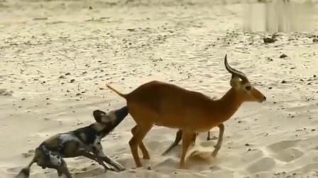 大自然:黑斑羚站着让两只鬣狗掏肛,很痛苦却已无力反抗