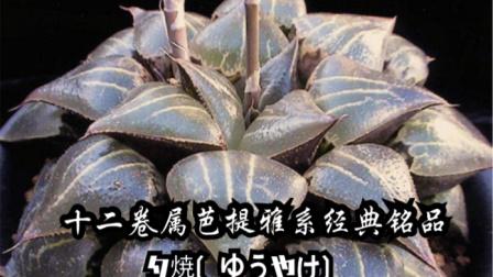 [十二卷属]夕烧两年的生长历程!时间是最好的植物 美容师。(网图镇)