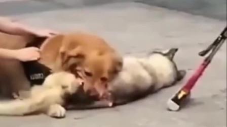 咬住就不松的金毛,大型犬太可怕了!