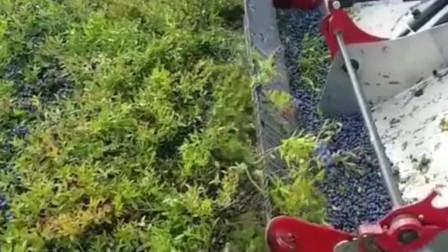 这样收蓝莓,会不会烂成蓝莓酱,长见识了!