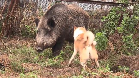 800斤野猪突然闯进院子里,养狗千日用狗一时!主人决定关门放狗