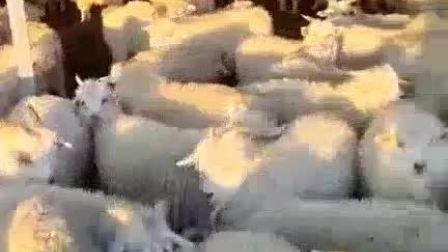早上好[大侦探皮卡丘]看这群小绵羊 真可爱#牛羊#
