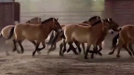 食来运转:新疆吉木萨尔,有一种马是国家一级保护动物,非常漂亮