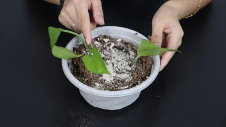 花盆里撒一把,不管多难养的花,几天根壮叶绿爆满盆,真厉害