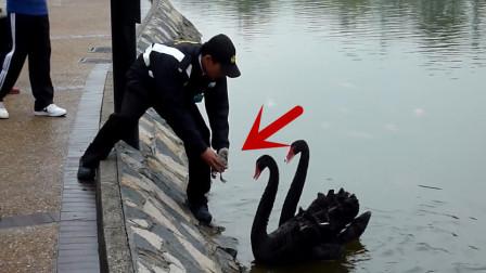 路人帮黑天鹅把岸边的鹅宝宝放回水里,鹅爸鹅妈的举动让人暖心