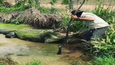 这是百万巨鳄?真佩服你有勇气去摸它的嘴!