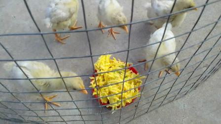 小鸡第一次吃有蔬菜的食物是什么样的?对食物疯抢还是对食物视而不见?