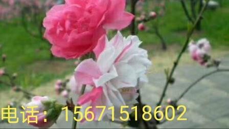 桃花苗,桃花苗,桃花苗,桃花苗,价格3元一棵,近70个品种,1米高左右(请在网上搜索:湖北笑春风桃花苗基地)
