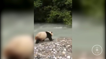 乘风破浪的滚滚!大熊猫横穿公路去洗澡,上演国宝级狗刨