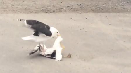 虎毒不食子,可海鸥的做法让人心寒,实际另有阴谋!