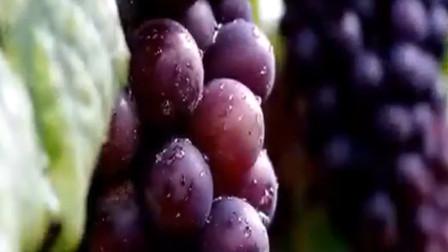 为了给客户更多选择的机会 果农种出精品葡萄 村民也有了工作机会