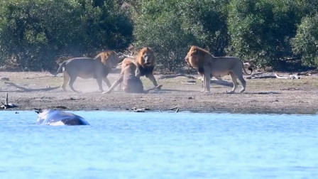 三打一,落单的老狮王就地防御,能否脱险?