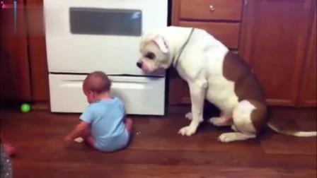 老爸给娃娃饼干,小娃转手就给喂狗了,不给还追着要,老爸气坏了