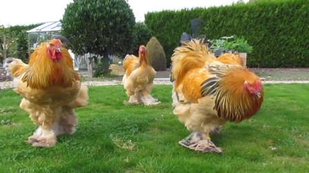 世界上最大的鸡能有多大?身高接近一米二,看完涨知识了!
