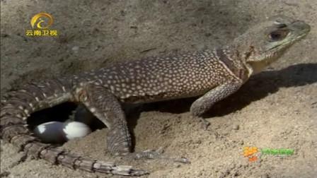 蛇闯进蜥蜴领地偷蛋吃,蜥蜴屁都不敢放,只能看着蛇进食!