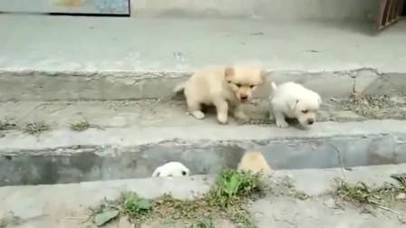 不愧是中华田园犬家的小奶狗,太萌了!网友:看最后一只的反应,还以为是个聪明的!