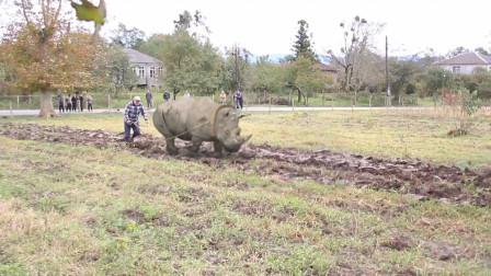犀牛也是牛,用来耕田,好像没毛病?