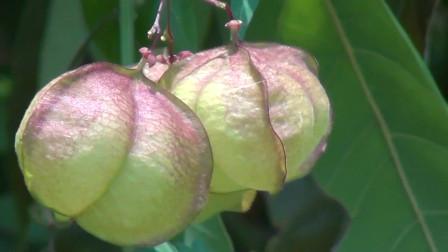 老家人叫假苦瓜的植物,虽然不能用来做菜吃,但是却能治糖尿病!